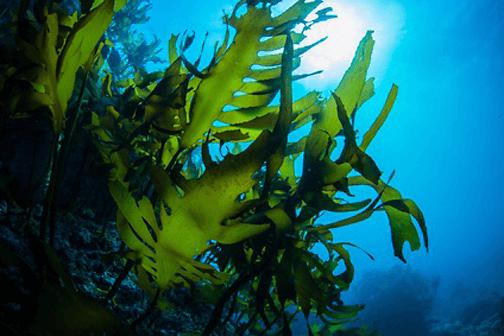 chlorella-alge